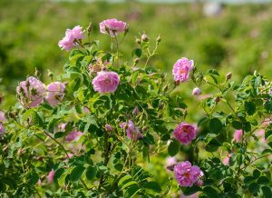 Rose Damascena plant
