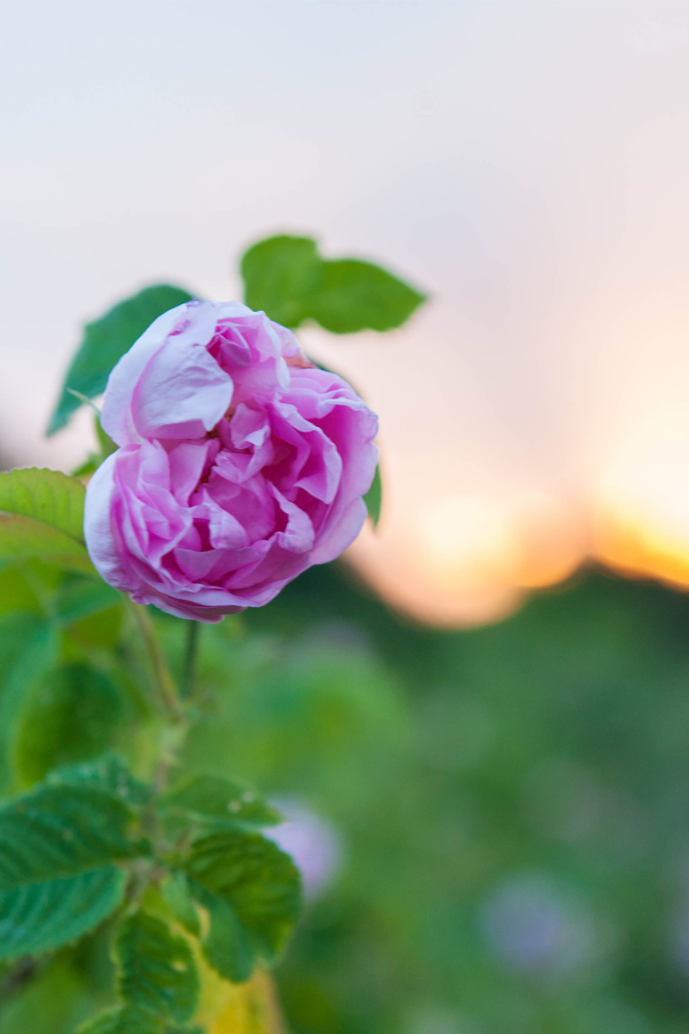 Rose Damascena flower on sunrise